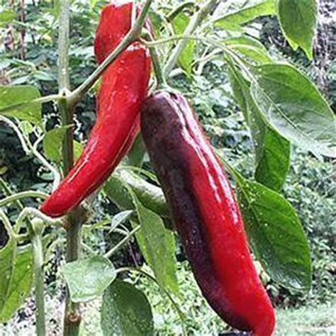 Spice Pepper Garden by 17 Best Images About Chilli Peppers On Pepper