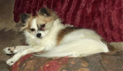 pomeranian chihuahua mix personality pomchi breed information and pictures