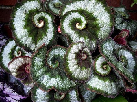 begonia escargot gardens pinterest