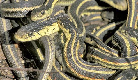 Garden Snake Ontario Black Snake With Yellow Horizontal Stripes