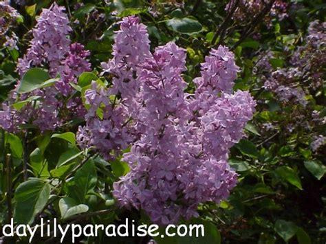 lilac tree information japanesemaple