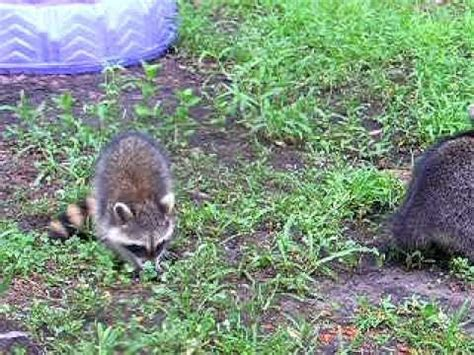 what color are raccoons raccoon color difference