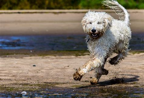 goldendoodle puppy diet what is the best food for a goldendoodle food guru