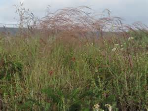 A growing passion mexican needlegrass don t plant this
