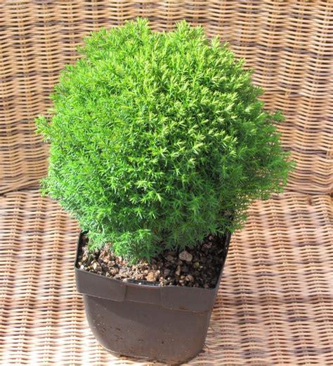 langsam wachsende thuja thuja teddy zwerg lebensbaum pflanzen versand harro s