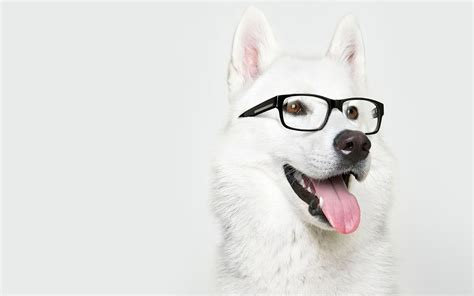 puppy with glasses with glasses wallpapers and images wallpapers pictures photos