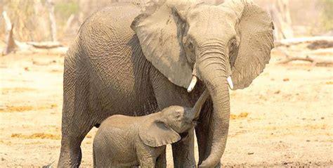 google images elephant related keywords suggestions for elephant google