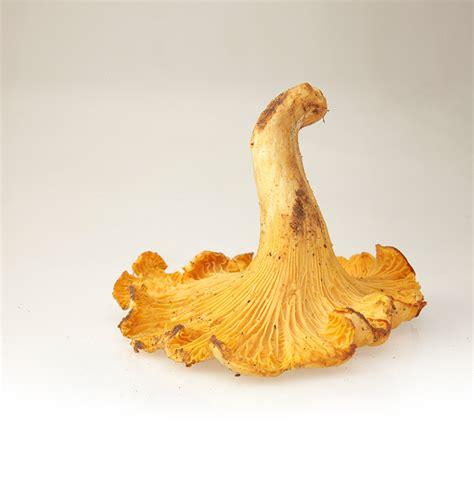 cucinare i funghi galletti funghi galletti appennino food