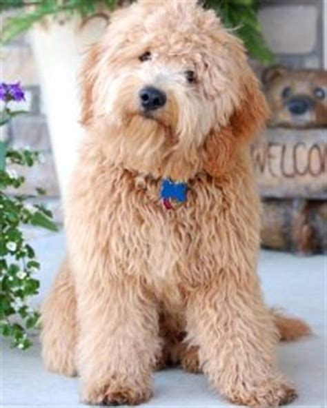 mini goldendoodle how big do they get 8 things to about the miniature goldendoodle mini