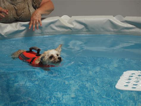 do all dogs how to swim small dogs that swim goldenacresdogs