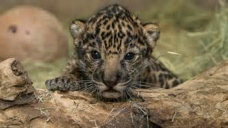 Baby Jaguar Baby Jaguar Born At San Diego Zoo Is A Boy Abc News