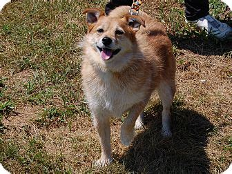 shiba inu pomeranian mix judson in pomeranian shiba inu mix meet max a for adoption