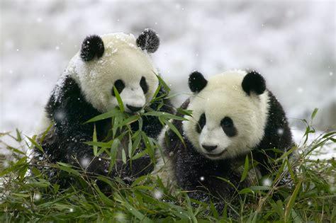 panda china isysgroup8 chengdu panda base