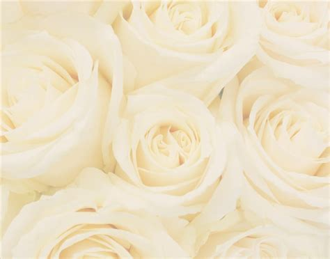 Wedding Background And White by White Roses Wedding Pictures Background Weddings