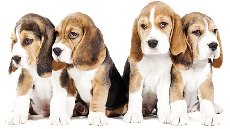 cani da appartamento adatti ai bambini migliori cani adatti ai bambini elenco delle 19 migliori