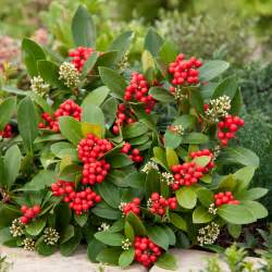 Irish Flowers Skimmia Japonica Temptation Dobbies Garden Centres