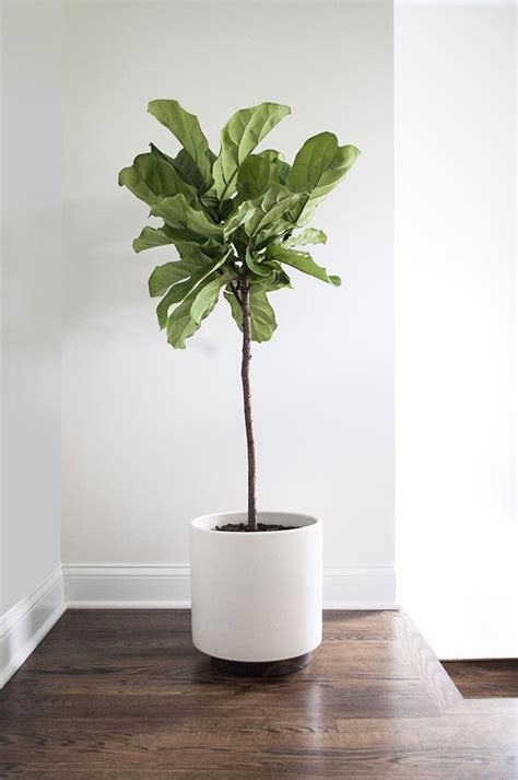 modern plants indoor house interior floor color and of course a fig tree in a