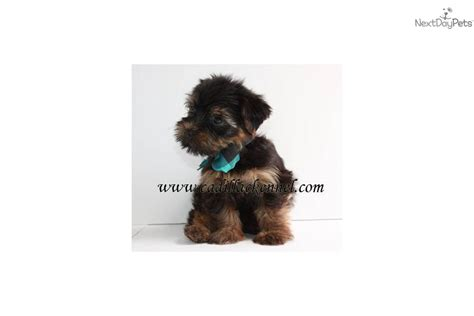 yorkie pups free to home teacup yorkie puppies free to home breeds picture