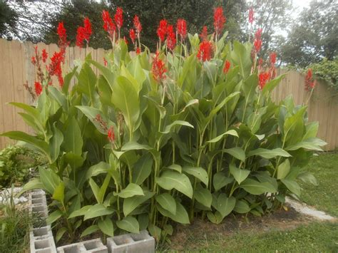 plants are the strangest people the garden cannas