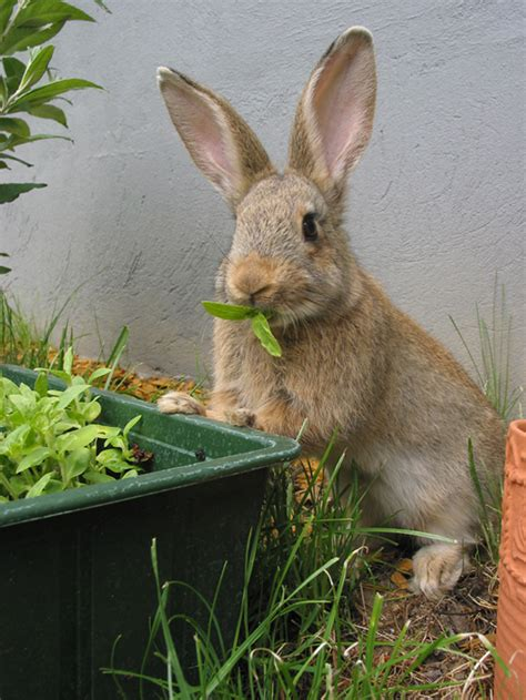 Rabbits In Garden by How To Keep Rabbits Out Of Your Garden Gardener Corner