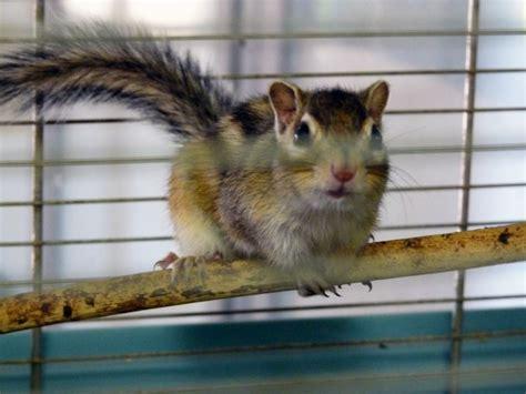 scoiattolo giapponese gabbia scoiattolo giapponese in vendita a torino club