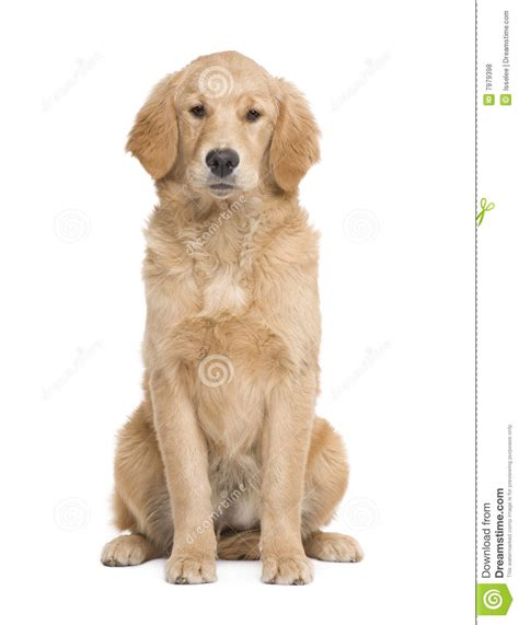 golden retriever at 5 months golden retriever puppy 5 months royalty free stock photos image 7979398