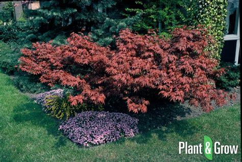 japanse tuin planten kopen acer palmatum atropurpureum kopen plant grow