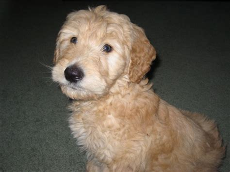 goldendoodle puppies for sale toronto goldendoodle puppies for sale goldendoodle breeder
