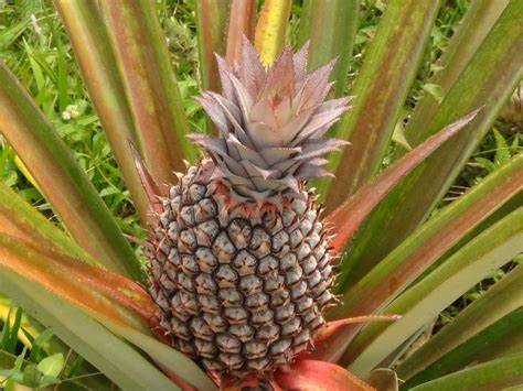 pine tree fruit pictures 17 best images about fruits of tobago on
