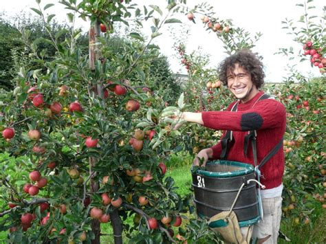 fruit tree picker summer fruit picking the and pay broadwater farm