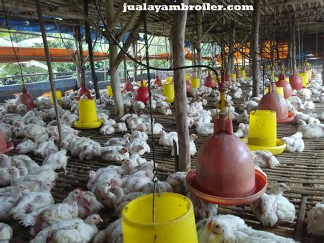 Jual Bibit Ayam Broiler jual ayam broiler di babelanjual ayam broiler jual ayam broiler