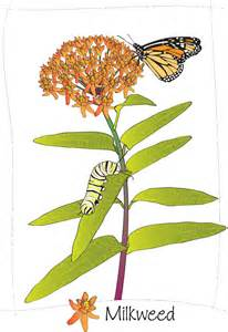 milkweed clipart free download clip art free clip art clipart library