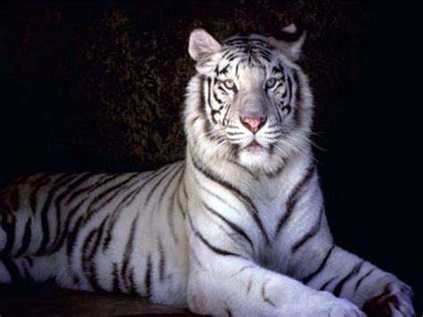 White Tiger L by White Tiger Hd Wallpapers