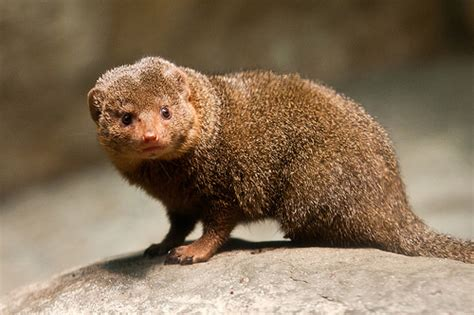 Fisher House dwarf mongoose lincoln park zoo