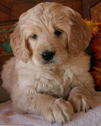 goldendoodle puppy adoption goldendoodle dogs just plain