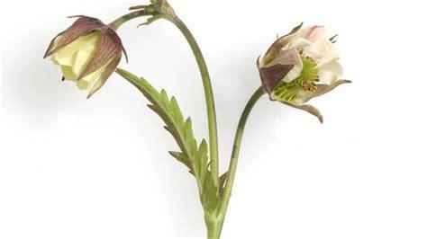Wie Pflanze Ich 4365 by Nelkenwurz Heilkraut Aus Eurasien Paradisi De
