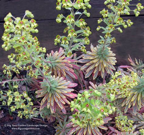euphorbia plants that brighten up the late winter garden contemporary landscape san
