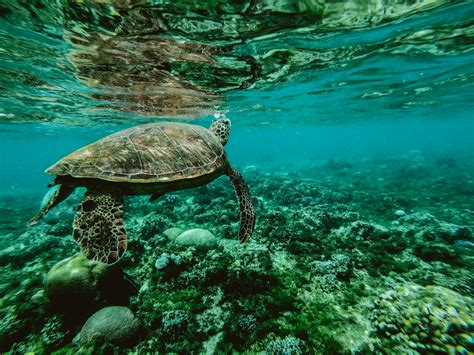 photos of photo of a turtle underwater 183 free stock photo