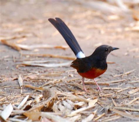 Murai Batu Muda Hutan burung murai cara merawat burung murai muda hutan