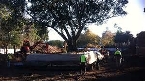 Prue Bentley Fig Tree In Move At Melbourne Zoo Abc