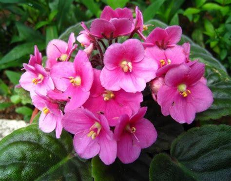 tanaman pink violet bibitbunga