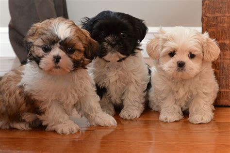 all white shih tzu puppies for sale shih tzu puppies for sale