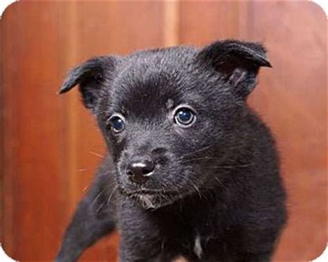 border collie pomeranian mix sudbury ma border collie pomeranian mix meet webb a puppy for adoption