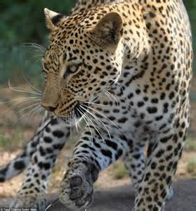 Do Jaguars Attack Humans Porcupine Attack Www Imgkid The Image Kid Has It