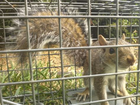 how to get rid of squirrels in the backyard charlotte squirrel removal get rid of squirrels