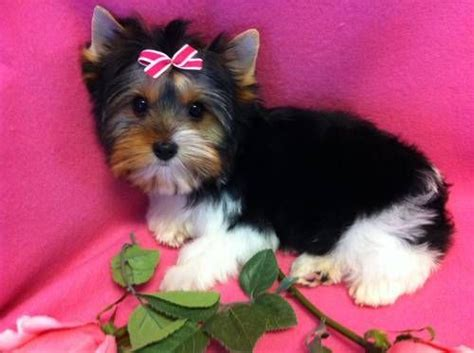 parti yorkie wiki parti yorkie cut 17 best images about parti yorkies on yorkie