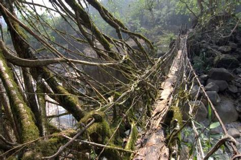 what is root bridge huge living root bridge cherrapunjee india travel photo