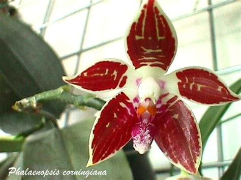 Orchidee Vanda Kaufen 629 17 best images about orchidee phalaenopsis ove on