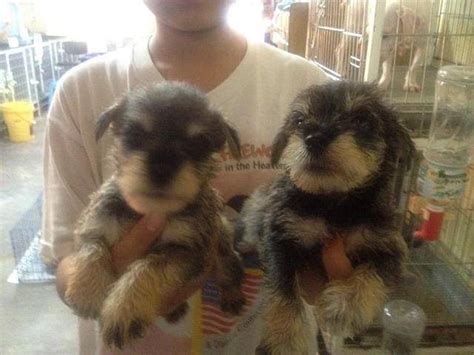 schnauzer puppies for adoption schnauzer for adoption breeds picture