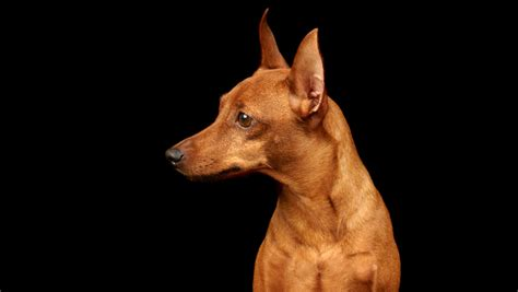 min pin 15 most active breeds woofipedia by the american kennel club
